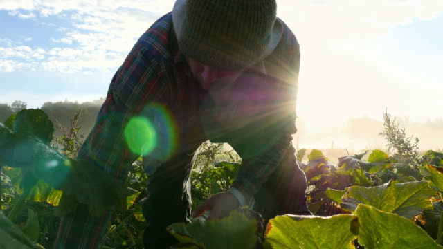 vidéos et rushes de cu farmer harvesting organic squash in field on fall morning at sunrise - producteur