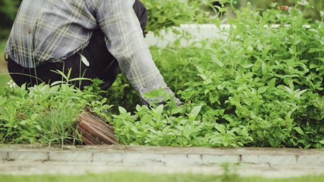 農家家庭で有機野菜を収穫します。 - 水栽培点の映像素材/bロール