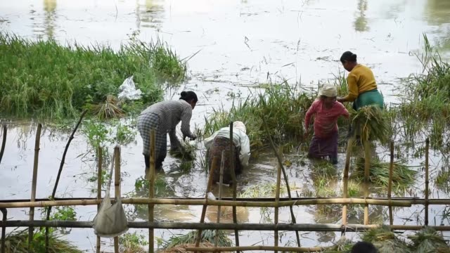 farmer harvesting paddy in a submerged paddy field - farmer stock videos & royalty-free footage