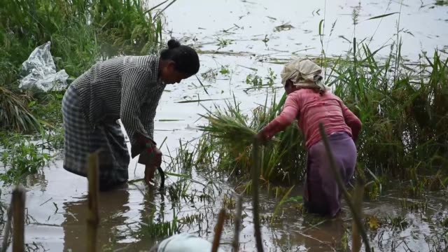 farmer harvesting paddy in a submerged paddy field - indigenous culture stock videos & royalty-free footage