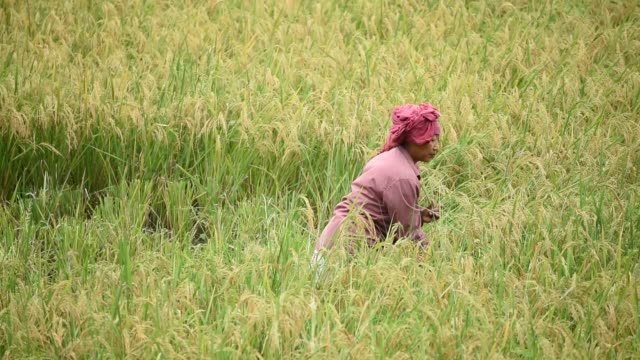 farmer harvesting paddy in a submerged paddy field - stamm stock-videos und b-roll-filmmaterial