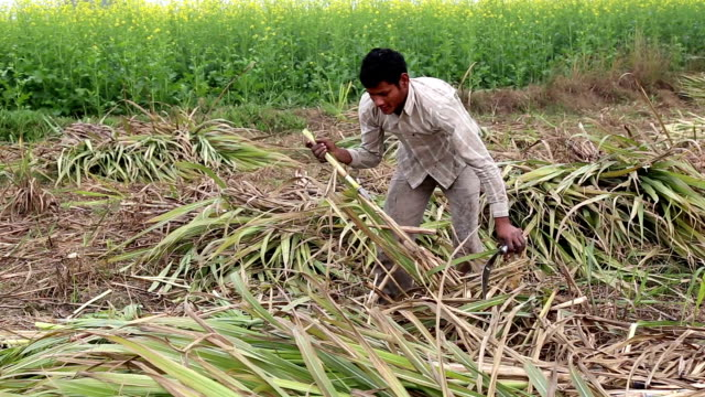 farmer harvesting sugar cane near mustard field - sugar cane stock videos and b-roll footage