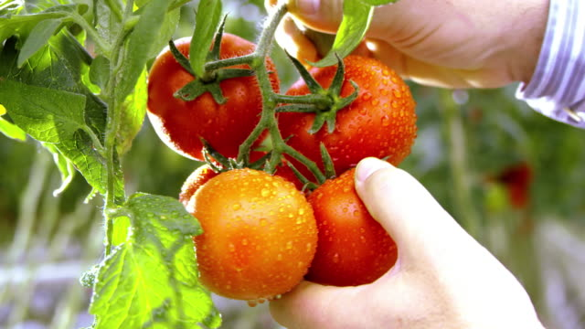 slo mo farmer harvesting tomato in a greenhouse - organic stock videos & royalty-free footage