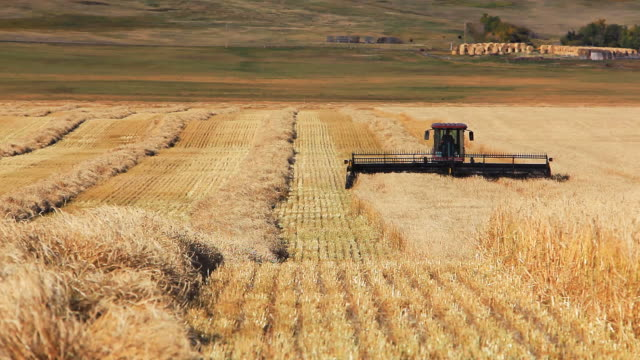 farmer harvesting wheat field - wheat stock videos & royalty-free footage