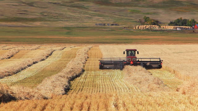 farmer harvesting wheat field - alberta stock videos & royalty-free footage