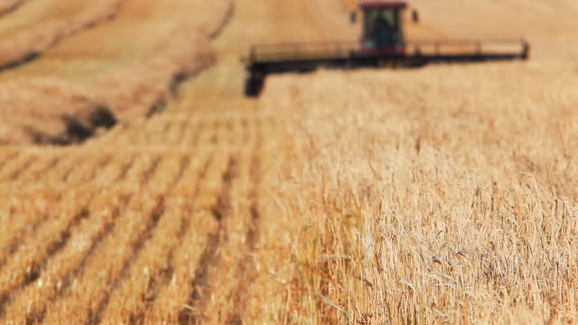 stockvideo's en b-roll-footage met farmer harvesting wheat field - oogsten