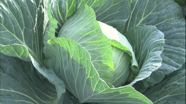 a farmer harvests a cabbage in the reclaimed land in isahaya - 収穫する点の映像素材/bロール