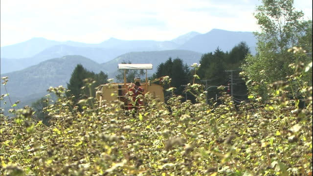 a farmer harvests buckwheat with a combine. - buckwheat stock videos & royalty-free footage