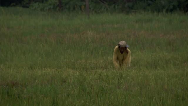 A farmer harvests crops with a sickle. Available in HD.
