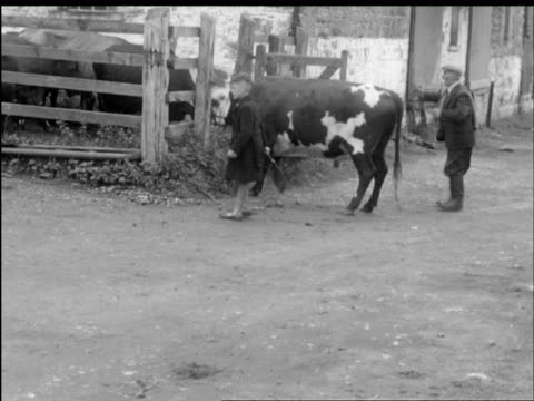 vídeos de stock, filmes e b-roll de ms farmer herding cows into cattle trucks / cavan, leitrim, county donegal, cavan, leitrim, ireland  - província de ulster