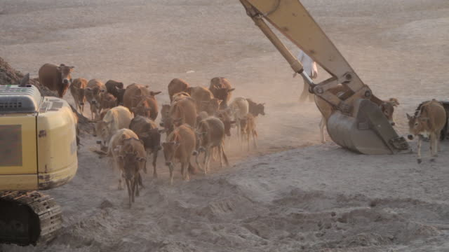ws farmer herding cows through heavy construction equipment / vientiane, laos - construction equipment stock videos & royalty-free footage