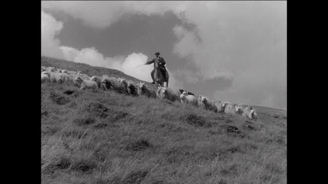 montage farmer herding flock of sheep across grassy countryside / aberystwyth, wales - aberystwyth stock videos & royalty-free footage