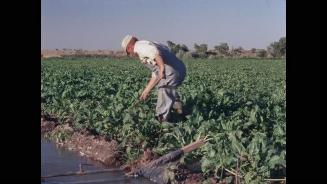 vídeos y material grabado en eventos de stock de farmer hoeing irrigated greens - campesino