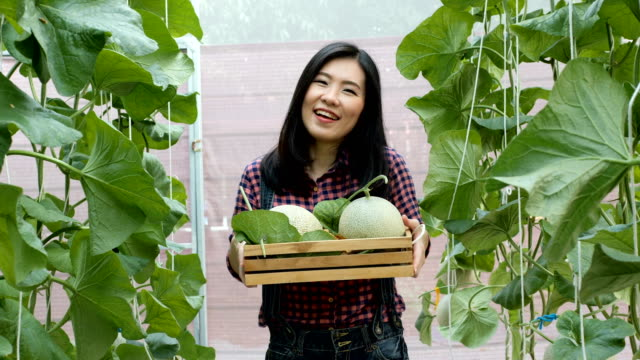 Farmer holding a basket of cantaloupe melon. Asian man presenting agricultural product at melon greenhouse farm