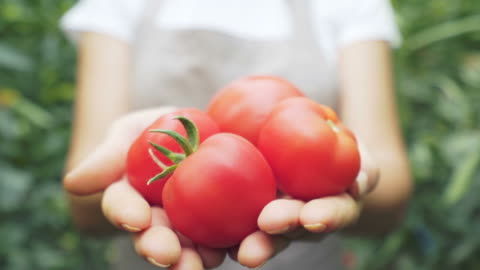 farmer holding and showing tomatoes. - organic farm stock videos & royalty-free footage