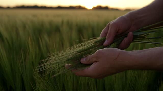 vídeos y material grabado en eventos de stock de slo mo farmer sosteniendo un montón de orejas de cebada en el campo al atardecer - tierra cultivada