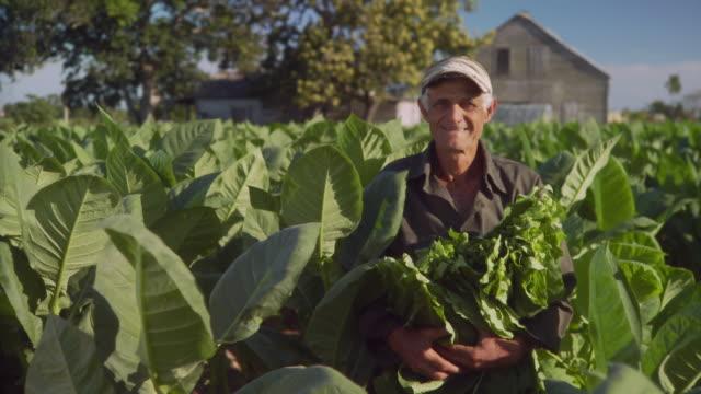 MS PAN Farmer holding tobacco leaves in tobacco field / San Luis, Pinar del Rio, Cuba