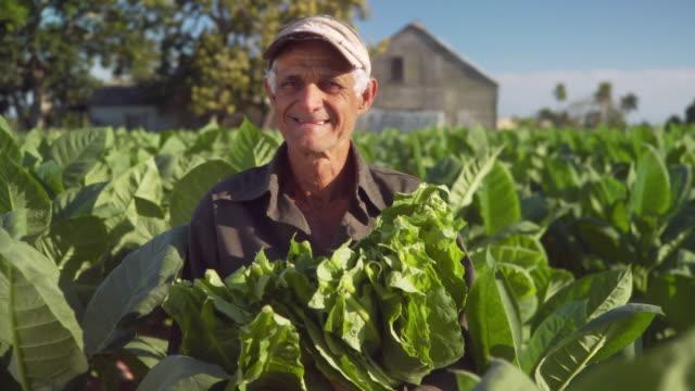 ms tu td farmer holding tobacco leaves in tobacco field / san luis, pinar del rio, cuba - tobacco crop stock videos & royalty-free footage
