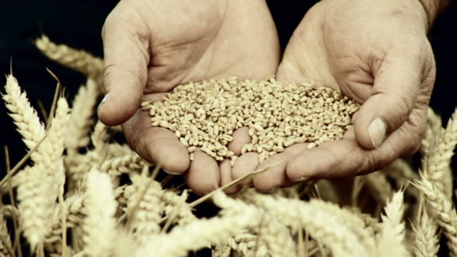 HD SLOW-MOTION: Farmer Holding Wheat Grains