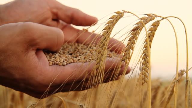 stockvideo's en b-roll-footage met hd: farmer holding wheat grains - volkorentarwe