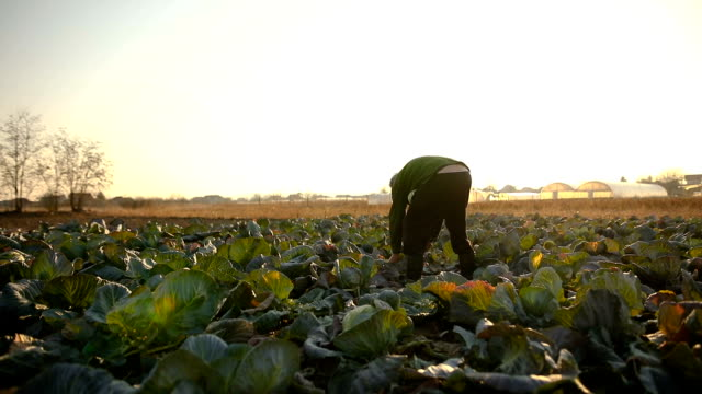 farmer in a cabbage field - cabbage stock videos and b-roll footage