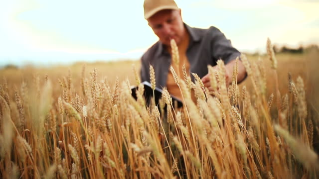 a farmer in a grain field - wheat stock videos & royalty-free footage