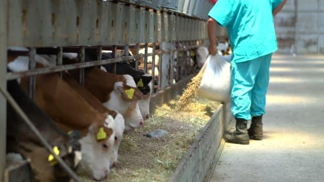 vídeos de stock, filmes e b-roll de o fazendeiro no celeiro alimenta bezerros - animal de fazenda