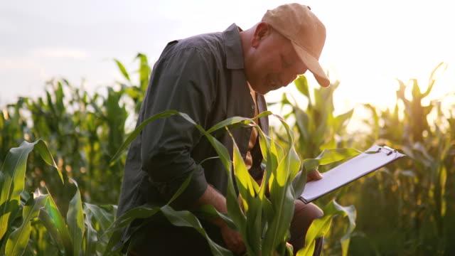 vídeos de stock, filmes e b-roll de fazendeiro no campo da planta de milho - milho