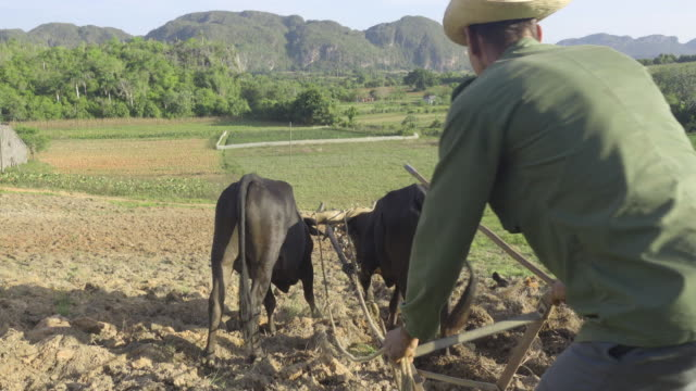 farmer in cuba. old man working with two bulls at viñales valle valley. rural area with tobacco plantations close to pinar del rio. two working animals carrying the plow. - working animals stock videos & royalty-free footage