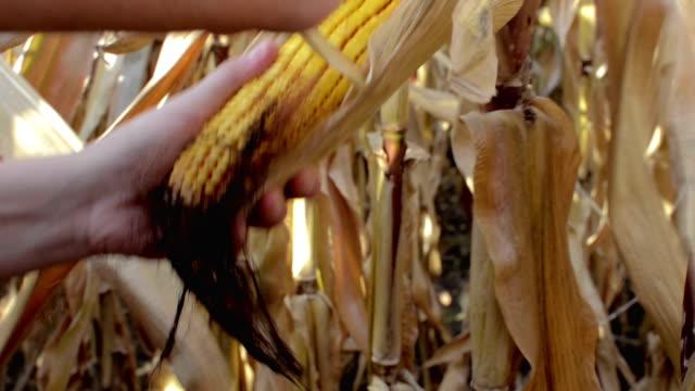 洗練された農家の農産物-トウモロコシフィールド - 農学者点の映像素材/bロール