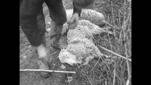 VS farmer in galoshes pokes at carcass of dead sheep / farmer gives water to a panting recumbent sheep from glass bottle men with walking sticks pass...