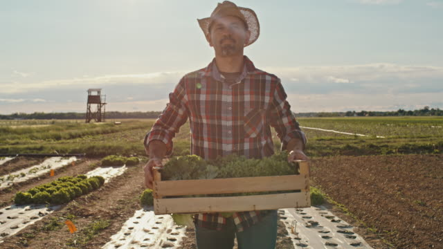 slo mo farmer in plaid shirt carries a crate of freshly picked lettuce on a field at sunset - plaid shirt stock videos & royalty-free footage