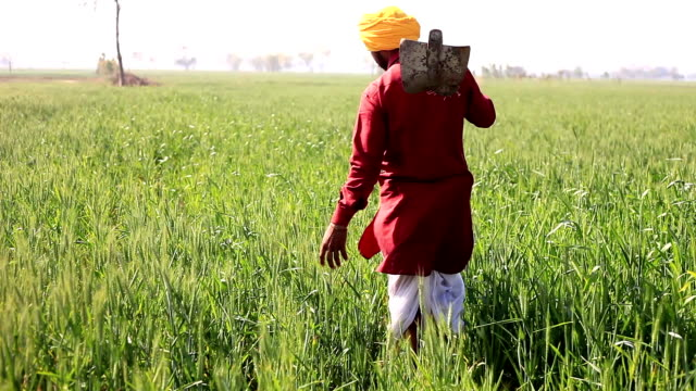 farmer in the green field rear view - turban stock videos & royalty-free footage