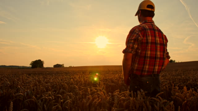 ws cs farmer in wheat field at dusk - crane shot stock videos & royalty-free footage