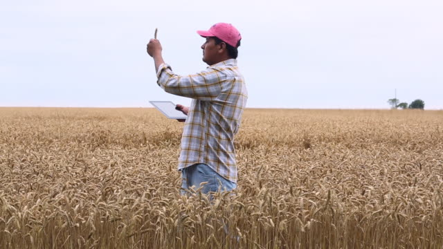 ms ds farmer in wheat field looking at crop, using tablet computer / oyster, virginia, usa - field stock videos & royalty-free footage