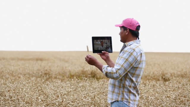 MS Farmer in Wheat Field Talking to Scientist on Tablet Computer / Oyster, Virginia, USA