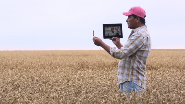 stockvideo's en b-roll-footage met ms ds farmer in wheat field talking to scientist on tablet computer / oyster, virginia, usa - virginia amerikaanse staat