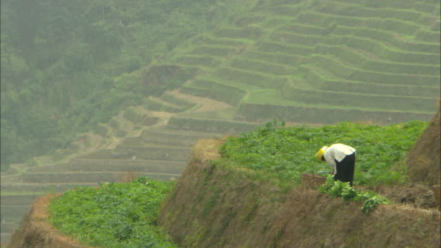ws farmer in yellow headscarf working on terraced rice field, guilin, guangxi zhuang autonomous region, china - rice stock videos & royalty-free footage