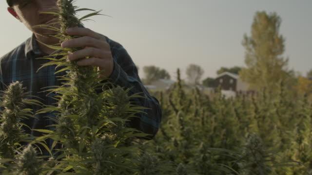farmer inspects a mature herbal cannabis plant at a cbd oil hemp marijuana farm in colorado - marijuana herbal cannabis stock videos & royalty-free footage