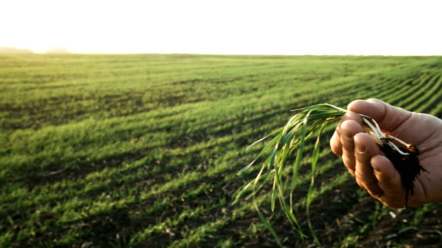 farmer inspects a wheat plant and roots using a smartphone - examining stock videos & royalty-free footage