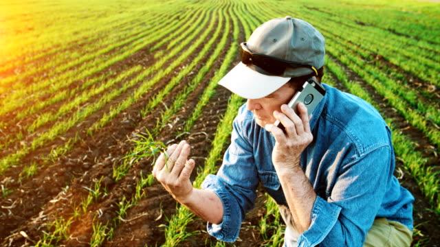 農家はスマートフォンを使用して小麦の植物や根を検査します - 品質管理点の映像素材/bロール