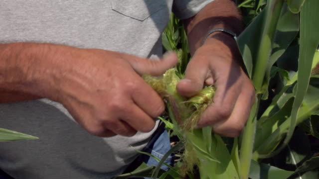 A farmer inspects an ear of corn in Bergen, North Dakota.