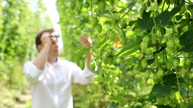 Farmer inspects green hops