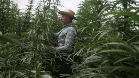 vidéos et rushes de l'agriculteur marche le champ de chanvre d'creux et s'occupe des usines - chapeau