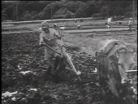 farmer leading oxdrawn plow / plow stuck in mud / two farmers pushing plow through rice paddy