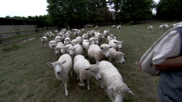 A farmer leads a flock of sheep across a grassy pasture. Available in HD.