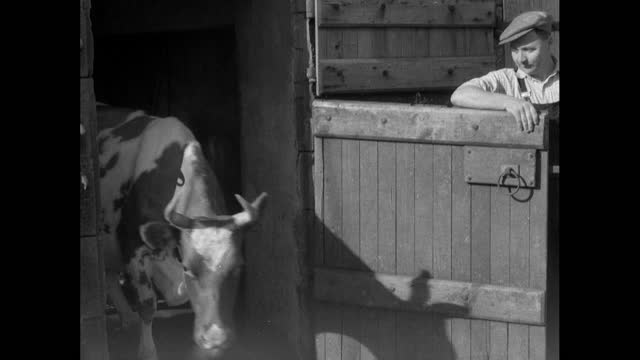 farmer lets cow out of stable into farm in cumbria; 1956 - female animal stock videos & royalty-free footage
