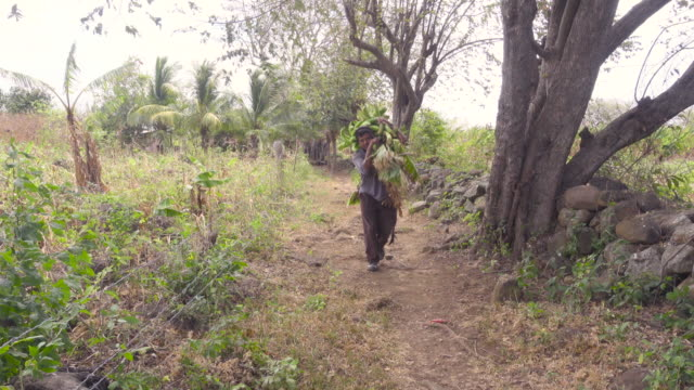Farmer man carrying bananas on his back. Rich harvest. He walks along a banana field in Latin America.
