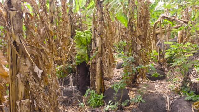 farmer man carrying bananas on his back. rich harvest. he walks along a banana field in latin america. - banana stock videos & royalty-free footage
