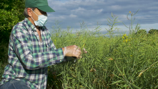 farmer measuring pods on oil seed rape crop - oilseed rape stock videos & royalty-free footage